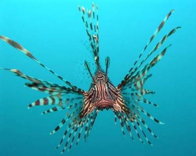 common lionfish|179