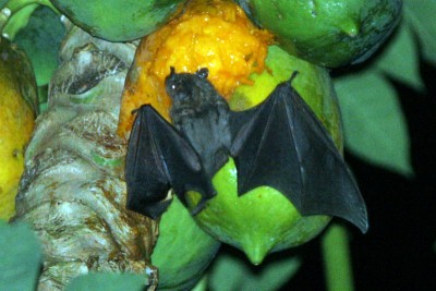 Antillean Fruit-Eating bat|210